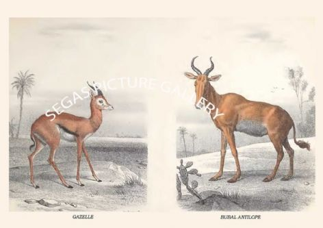 Fine art print of the GAZELLE - BUBAL ANTILOPE by Édouard Traviès de Villers (1864) reproduced by Segas Picture Gallery.<br />Open Edition